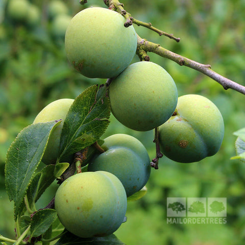 Prunus Willingham Gage - Fruits