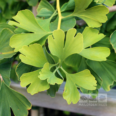 Ginkgo Autumn Gold - Foliage