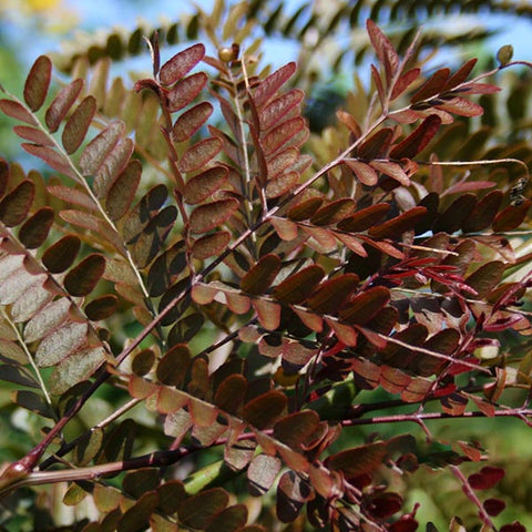Gleditsia Ruby Lace - Foliage