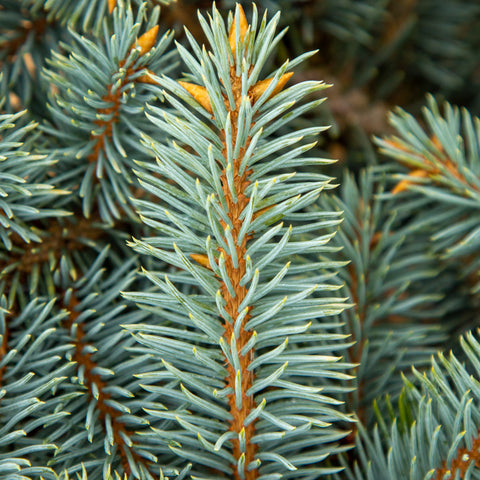 Picea pungens Globosa - Colorado Spruce Thume