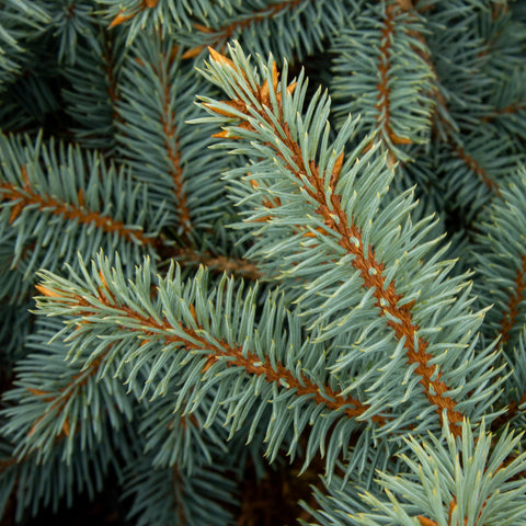 Picea pungens Gloria - Colorado Spruce Gloria