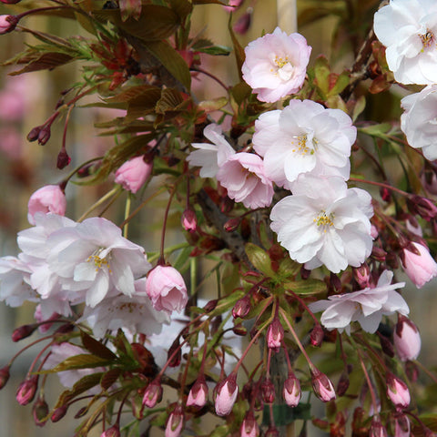 Prunus Horinji - Flowers and Buds