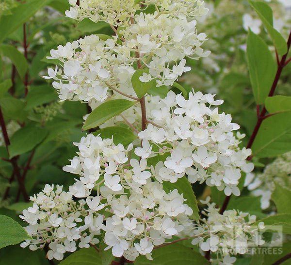 hydrangea paniculata grandiflora mail order trees. Black Bedroom Furniture Sets. Home Design Ideas