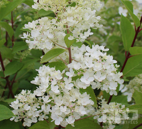 hydrangea plants mail order trees tagged can be grown. Black Bedroom Furniture Sets. Home Design Ideas