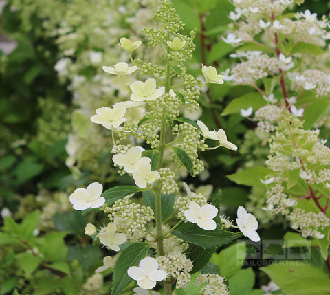 hydrangea paniculata little lime mail order trees. Black Bedroom Furniture Sets. Home Design Ideas