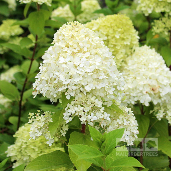 Hydrangea paniculata Limelight : Mail Order Trees