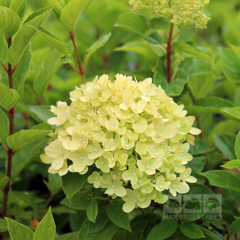 Hydrangea Little Lime - Flower