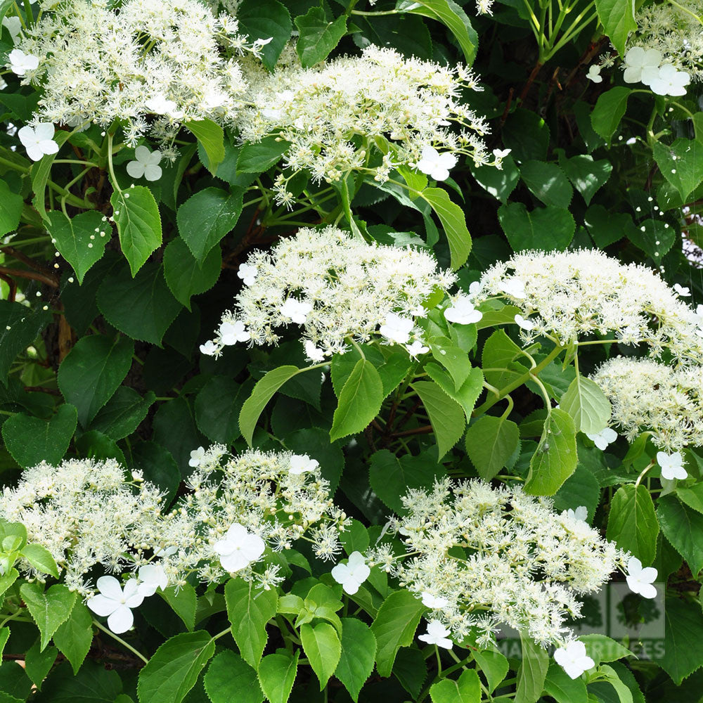 hydrangea petiolaris climbing hydrangea mail order trees. Black Bedroom Furniture Sets. Home Design Ideas