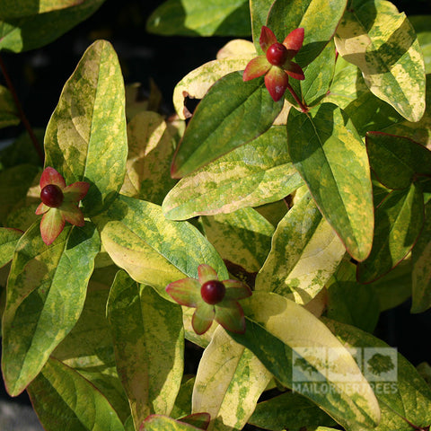 Hypericum Golden Beacon - Foliage