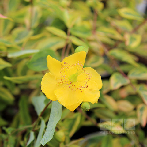 Hypericum Little Misstery - Flower