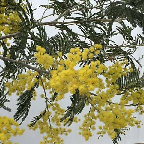 Mimosa Trees For Sale Acacia Mail Order Trees