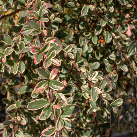 Cotoneaster Juliette - Weeping Cotoneaster Tree