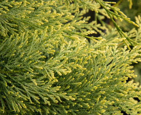 Chamaecyparis lawsoniana Summer Snow - Lawson Cypress