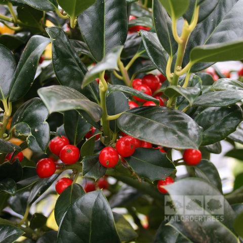 Ilex J.C.van Tol - Berries & Foliage