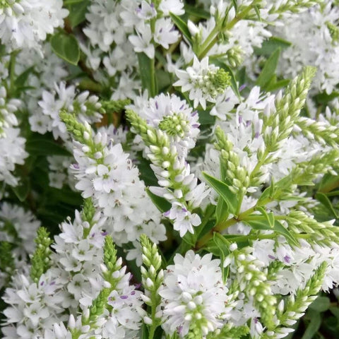 Hebe Garden Beauty White