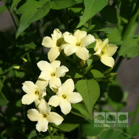 Jasminum Clotted Cream - Flowers