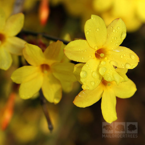 Jasminum nudiflorum - Flowers