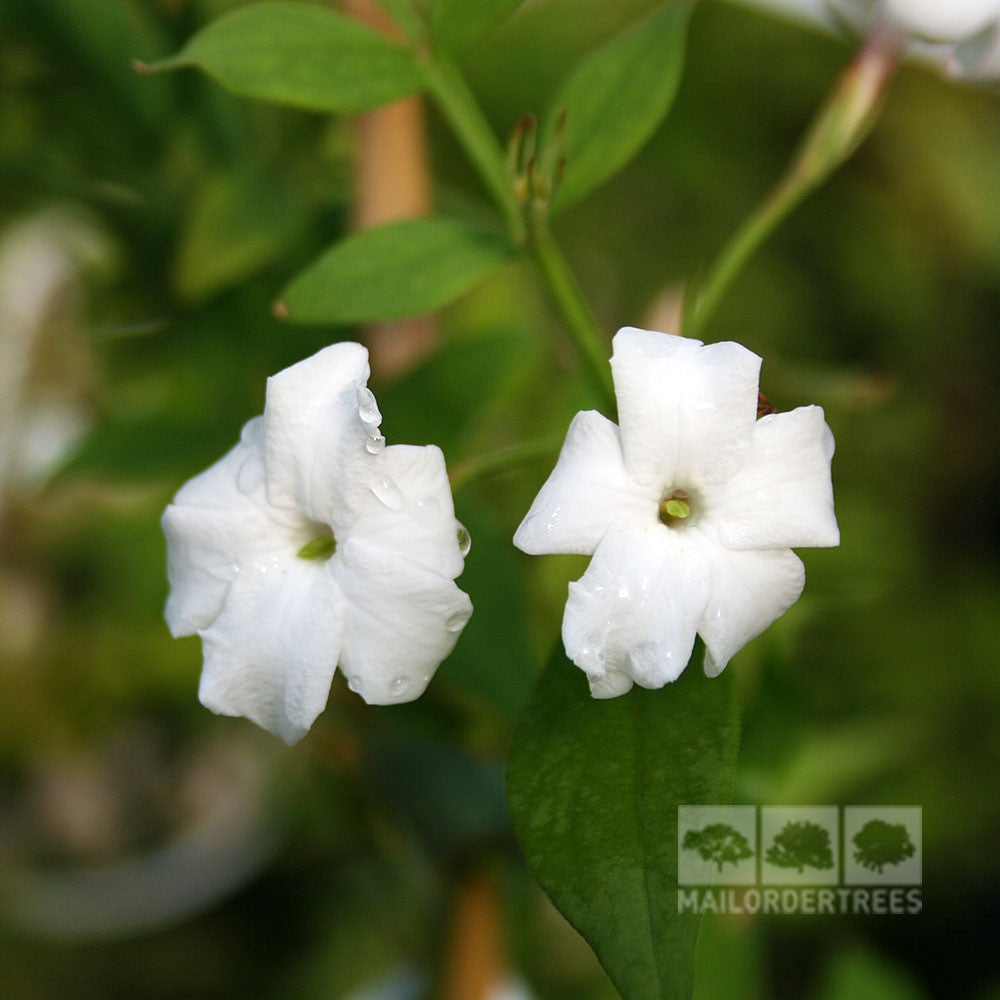 Jasminum officinale common jasmine plant mail order trees jasminum officinale flowers izmirmasajfo