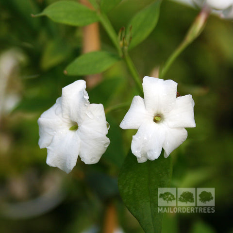 Jasminum officinale - Flowers