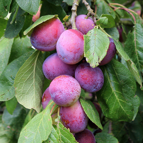 Prunus Jubilee - Fruits