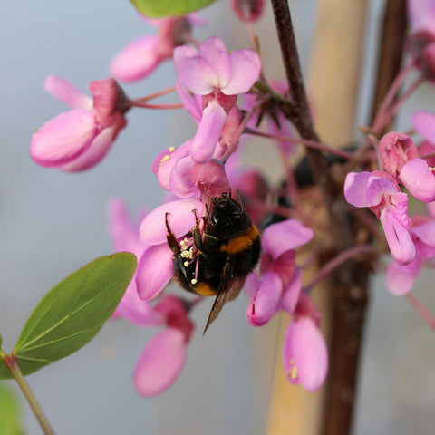 Cercis siliquastrum - Flowers