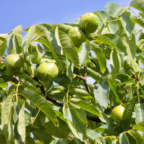 Juglans regia - Fruits