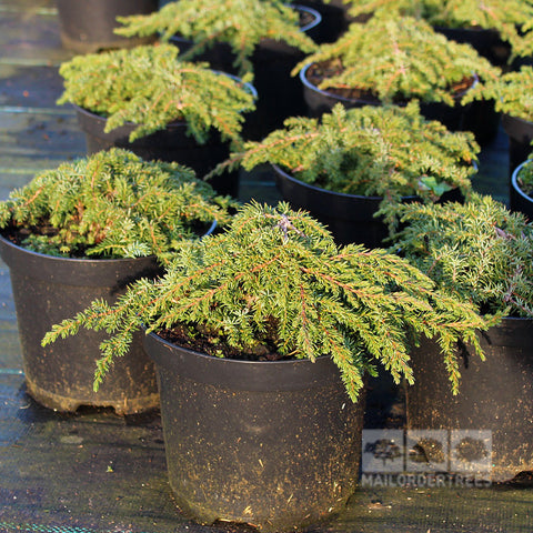 Juniperus Green Carpet - Foliage
