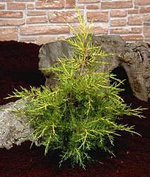 Juniperus Kuriwao Gold - Foliage