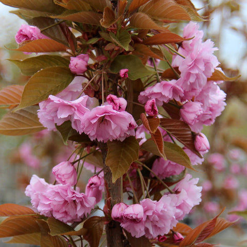 Prunus Kanzan - Flowers