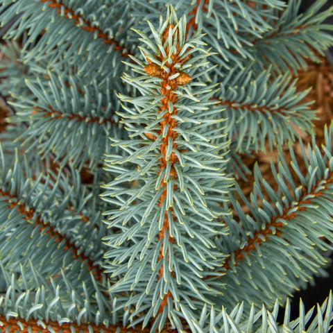 Picea pungens Koster - Colorado Spruce