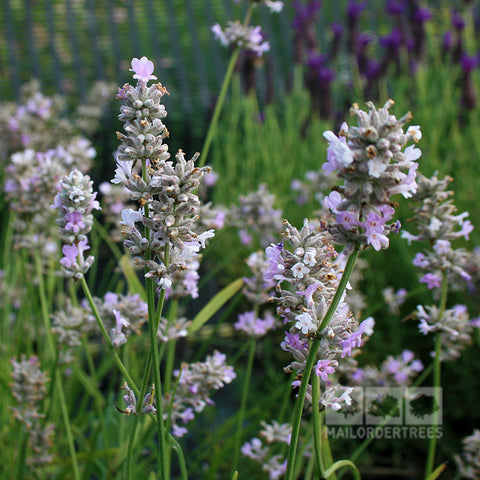 Lavandula Coconut Ice - Flowers