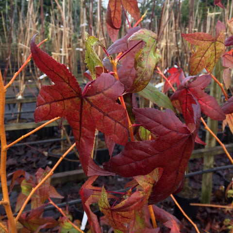 Liquidambar Golden Sun -  Autumn Foliage