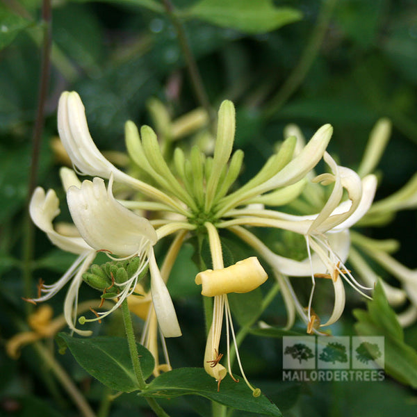 lonicera graham thomas honeysuckle plant mail order trees. Black Bedroom Furniture Sets. Home Design Ideas