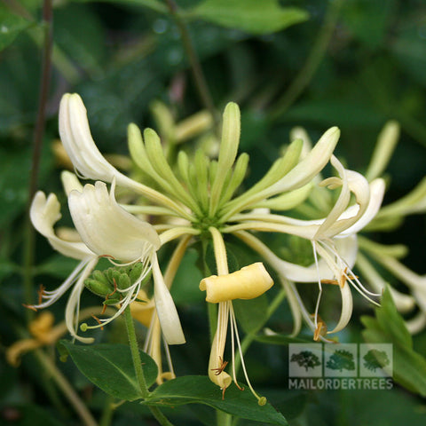 Lonicera Graham Thomas - Flower