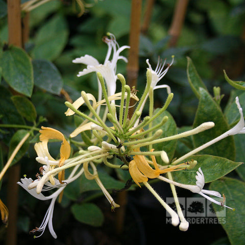 Lonicera halliana - Flower