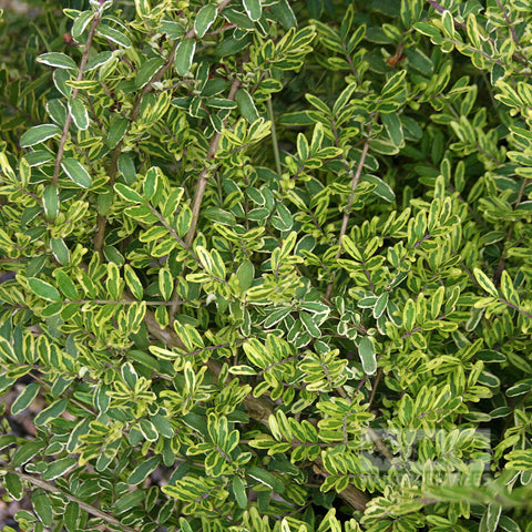 Lonicera Lemon Beauty - Foliage