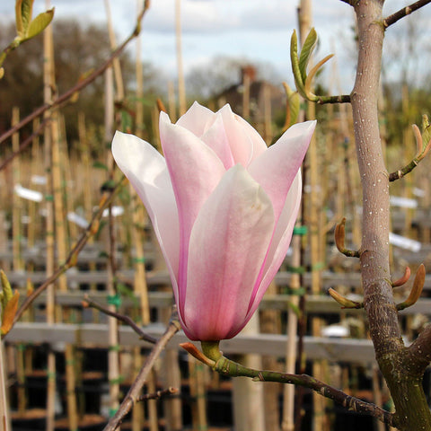 Magnolia Full Eclipse - Flower