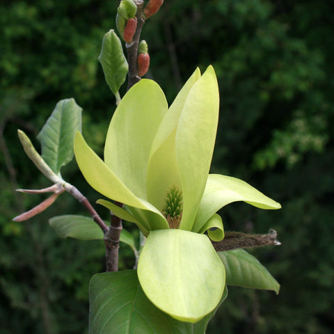 Magnolia Yellow Bird - Flower