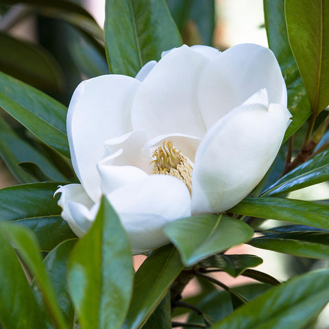 Magnolia Exmouth - Flower