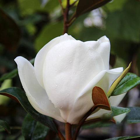 Magnolia Goliath - Flower