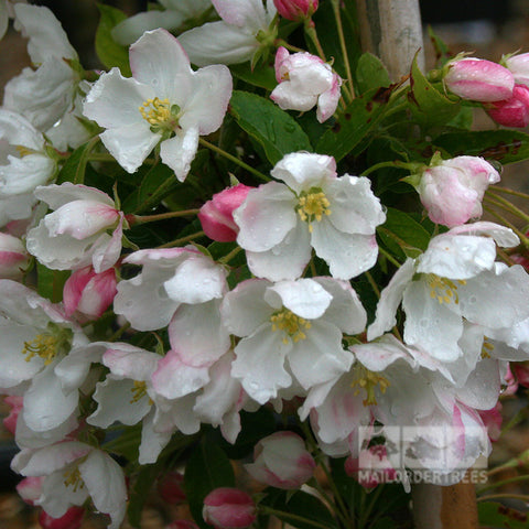 Malus Admiration - Flowers