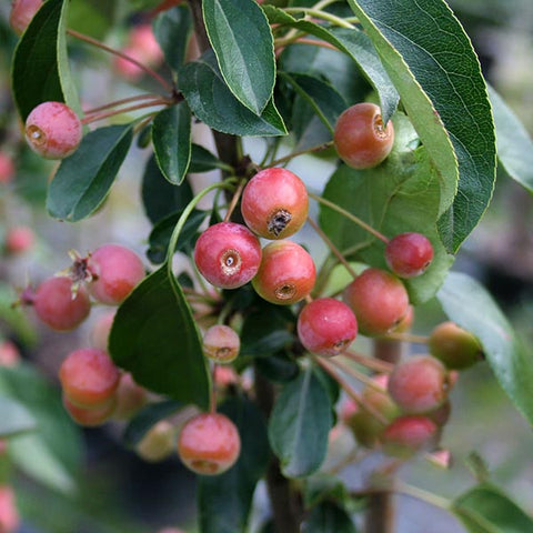 Malus Admiration - Fruits