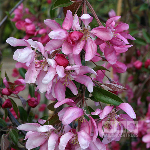 Malus Cheal's Weeping - Flowers