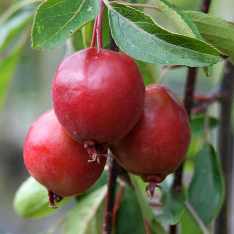 Malus Cheal's Weeping - Fruits