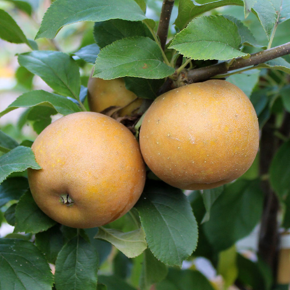 Fruit Products Mail: Malus Egremont Russet - Apple Tree