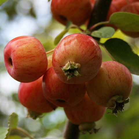 Malus Evereste - Fruits