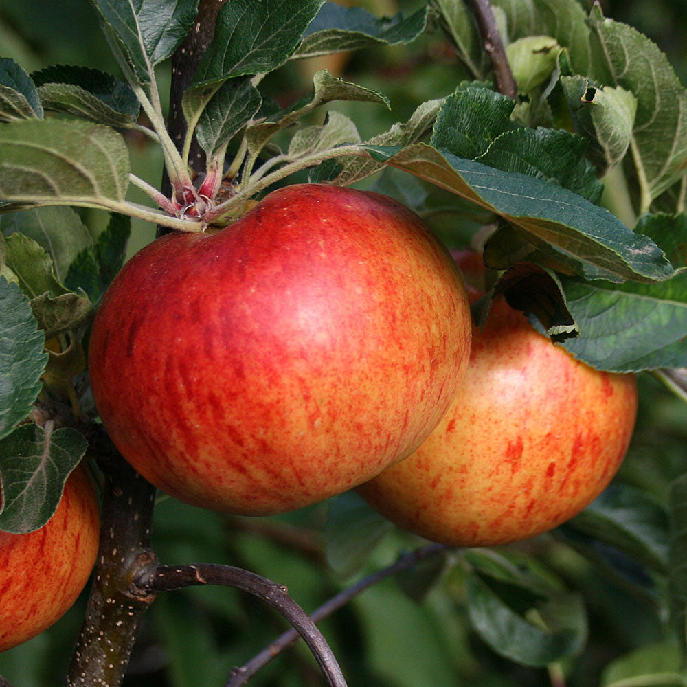 Fruit Products Mail: Apple Tree Mail Order Trees