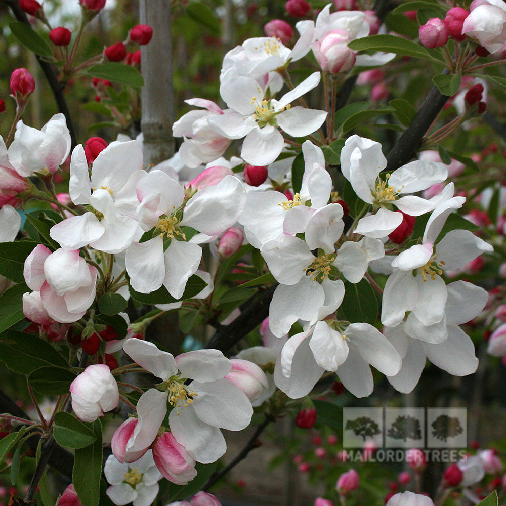 Malus golden gem crab apple tree mail order trees malus golden gem flowers mightylinksfo