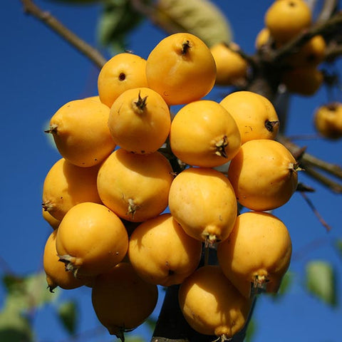 Malus Golden Gem - Fruits