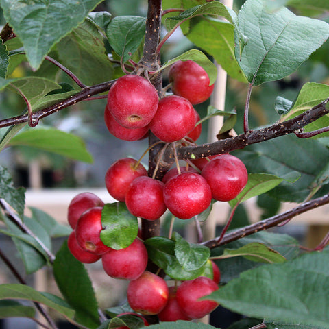 Malus Gorgeous - Fruits